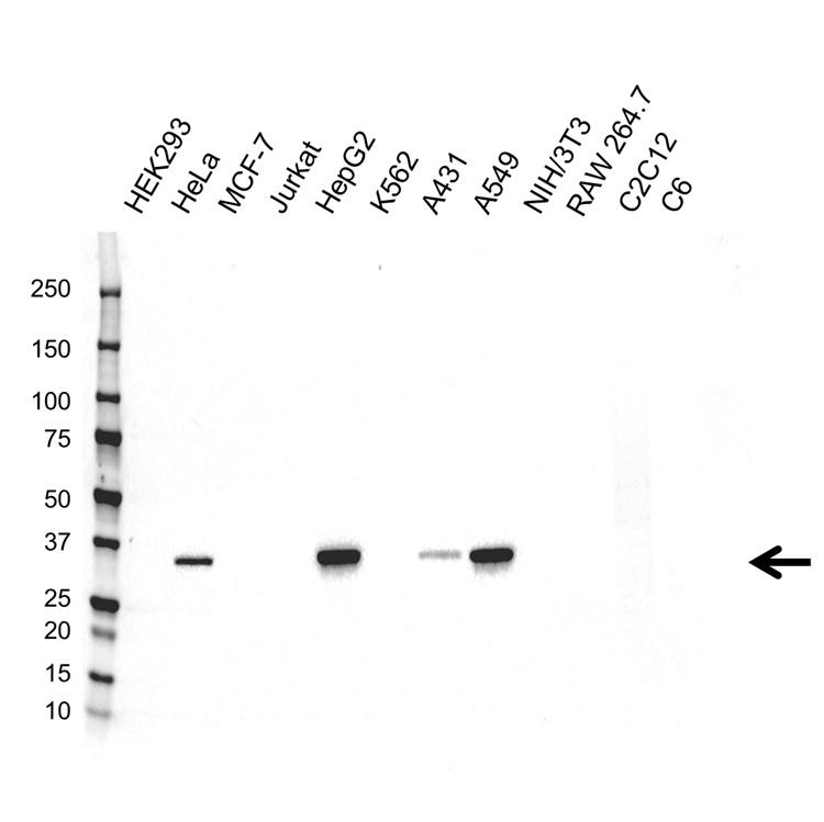 Anti AKR1C1 Antibody (PrecisionAb™ Monoclonal Antibody) gallery image 1