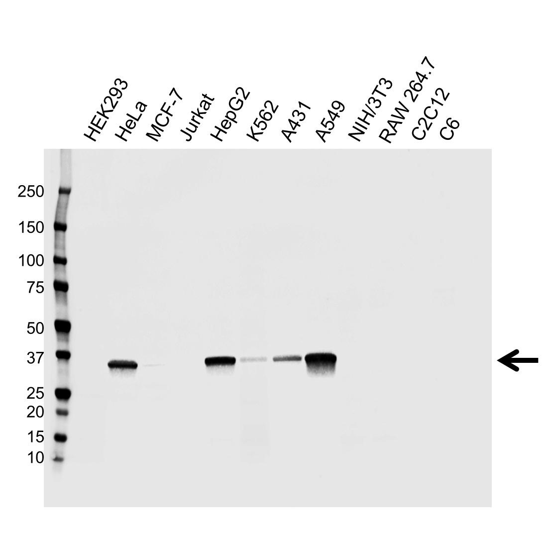 Anti AKR1C2 Antibody (PrecisionAb™ Monoclonal Antibody) gallery image 1