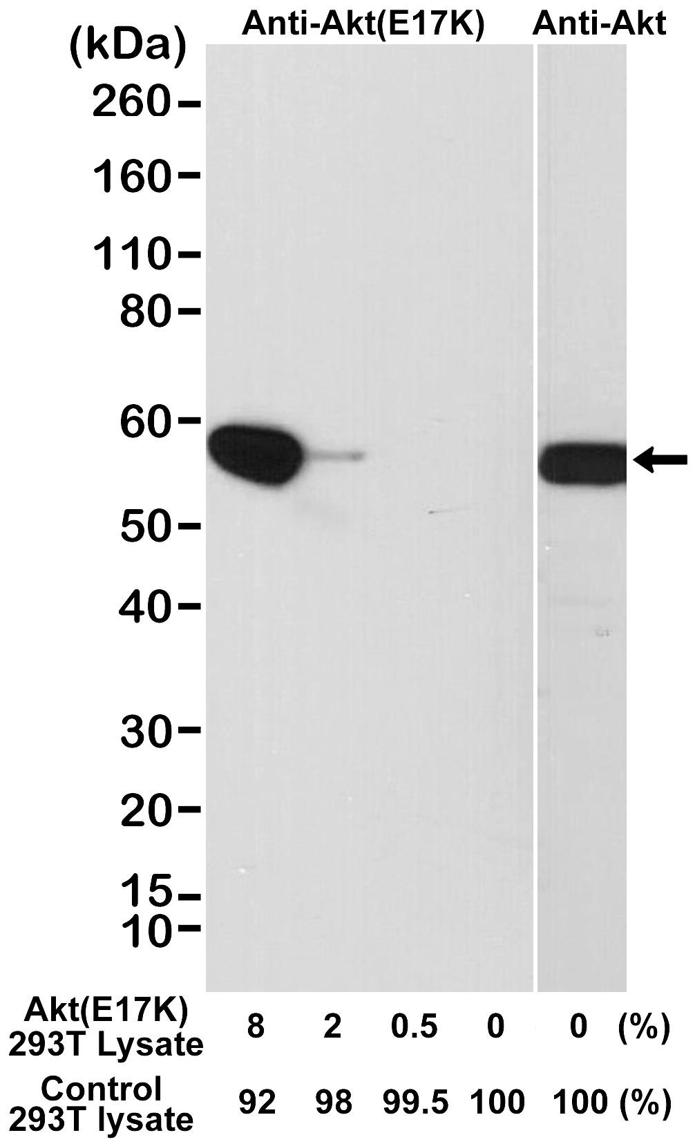 Anti Akt (E17K Mutant) Antibody, clone RM336 thumbnail image 1
