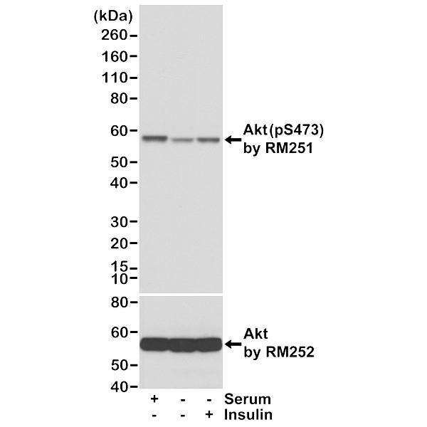 Anti Akt (pSer473) Antibody, clone RM251 (PrecisionAb Monoclonal Antibody) thumbnail image 1