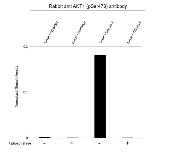Anti Akt (pSer473) Antibody, clone RM251 (PrecisionAb Monoclonal Antibody) thumbnail image 4