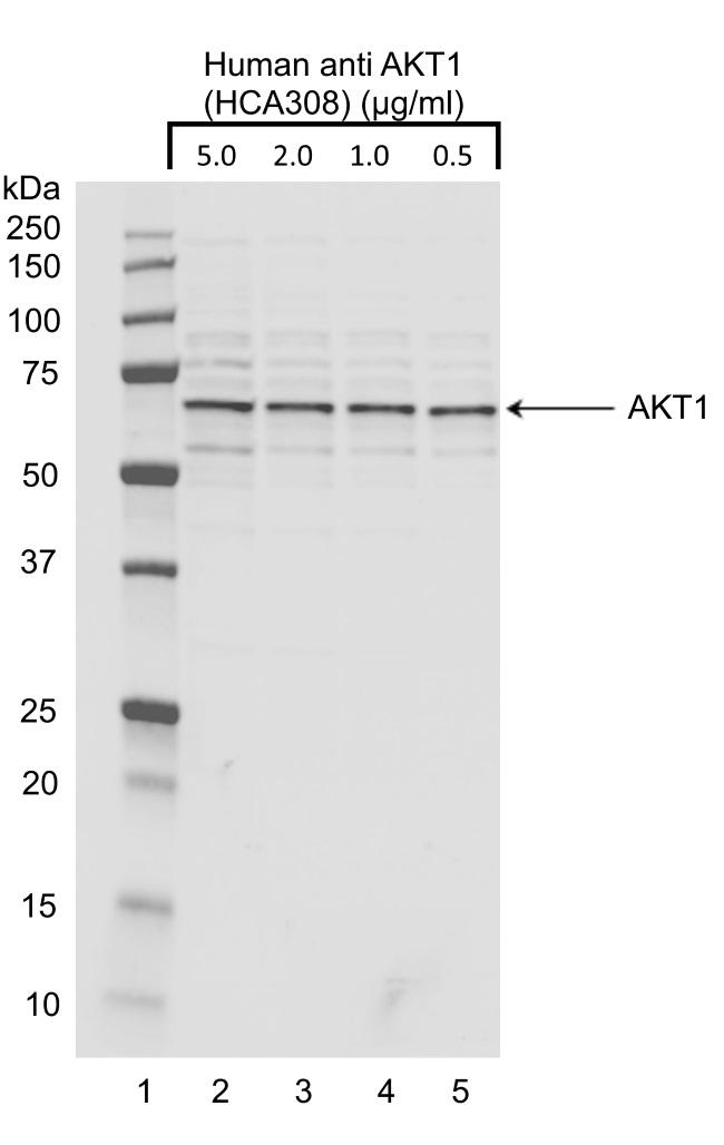 Anti AKT1 Antibody, clone AbD30769 gallery image 1