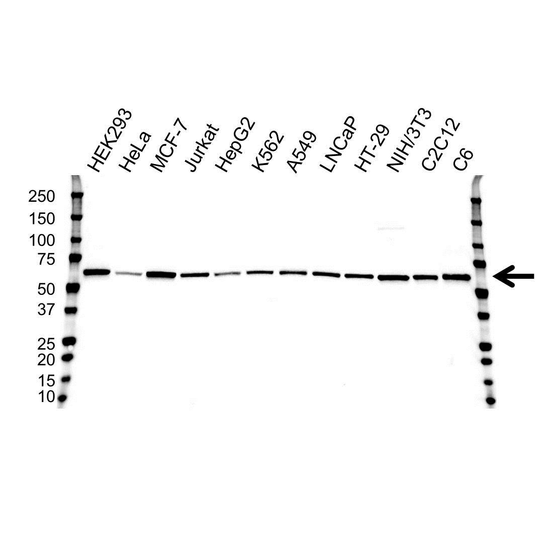 Anti AKT1 Antibody, clone OTI4C11 (PrecisionAb™ Monoclonal Antibody) gallery image 1