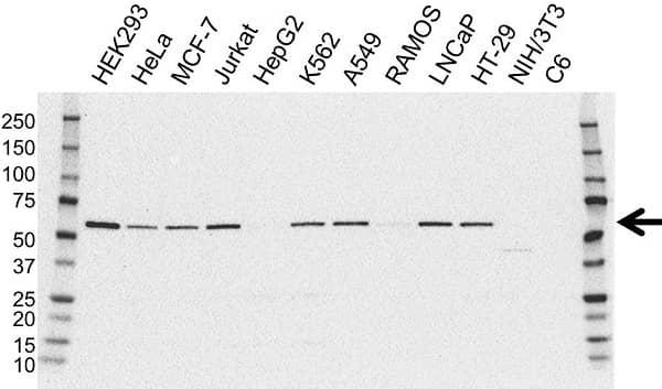 Anti AKT2 Antibody (PrecisionAb Monoclonal Antibody) gallery image 1