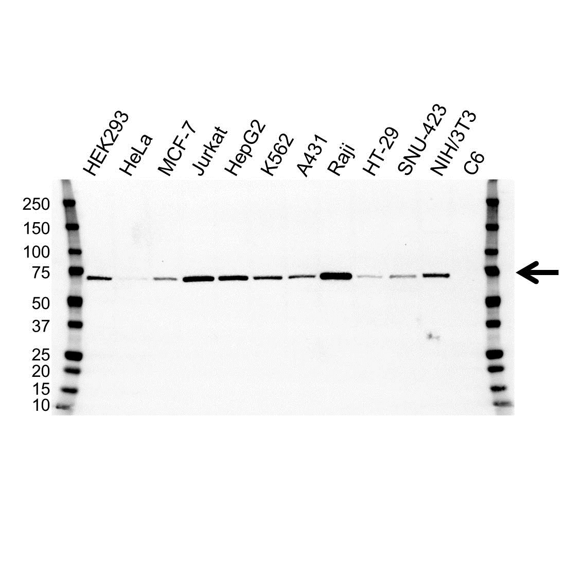 Anti ALAS1 Antibody, clone OTI1C5 (PrecisionAb Monoclonal Antibody) gallery image 1