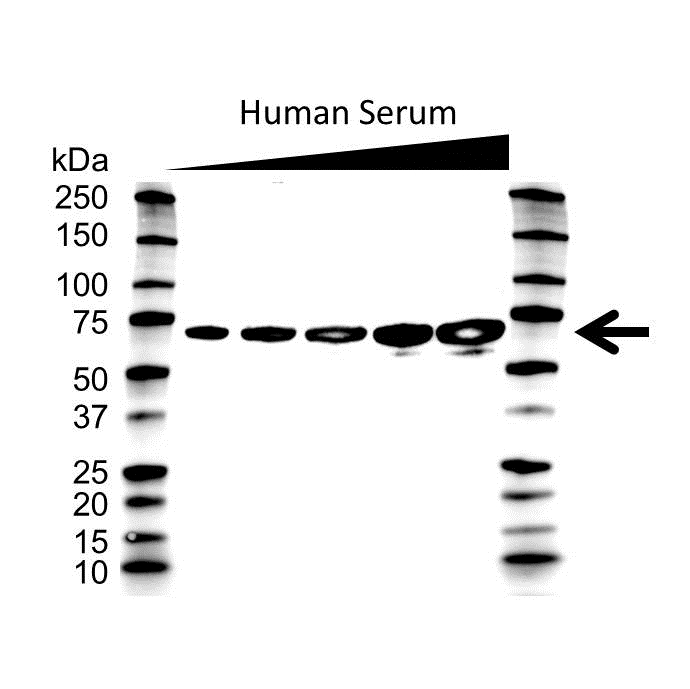 Anti Albumin Antibody (PrecisionAb Monoclonal Antibody) gallery image 1