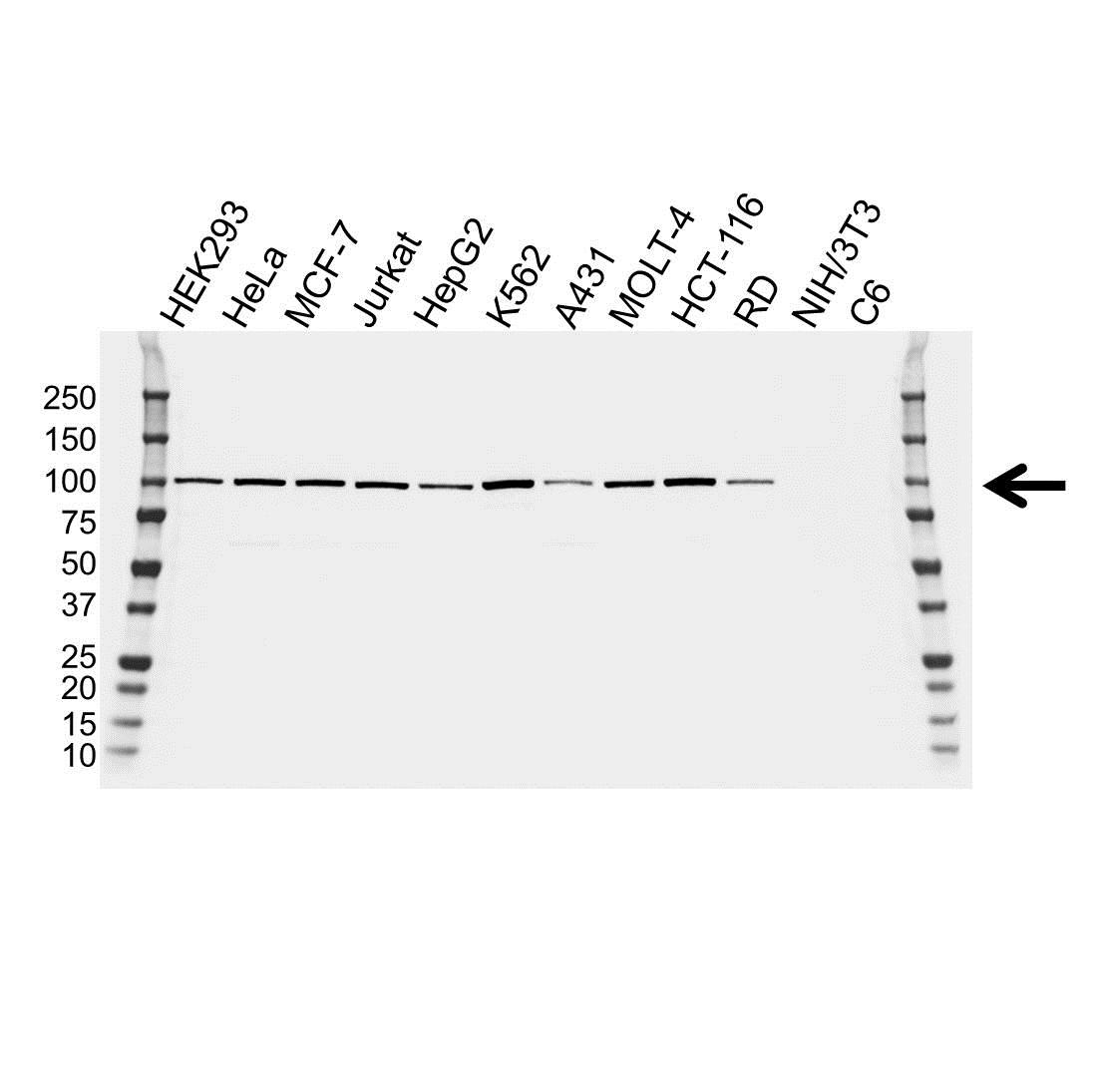 Anti ALIX Antibody, clone OTI1A4 (PrecisionAb™ Monoclonal Antibody) gallery image 1