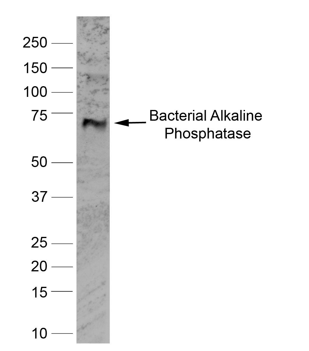 Anti Human Alkaline Phosphatase Antibody, clone BGN/03/662 gallery image 1