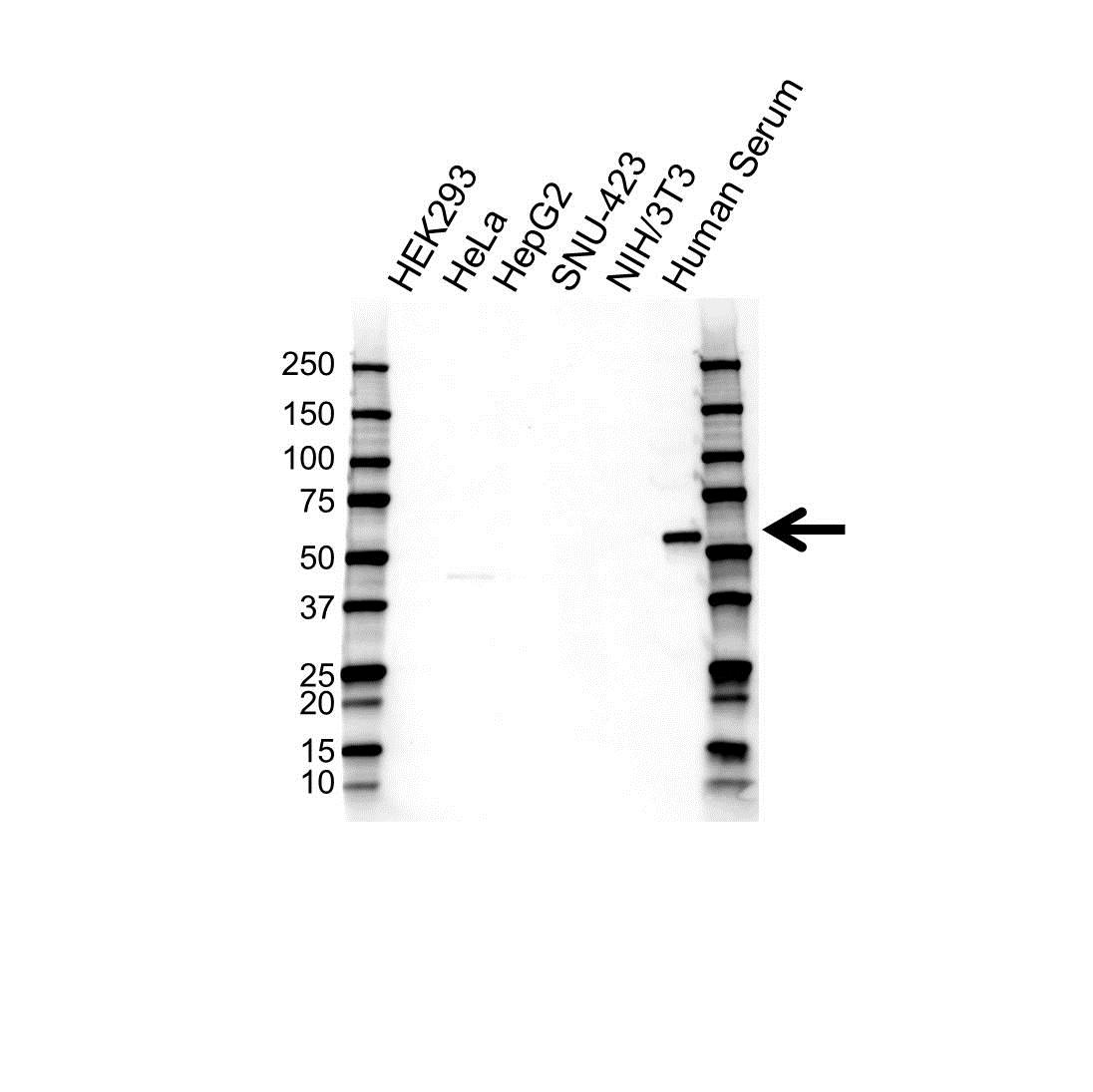 Anti Alpha 1 Antitrypsin Antibody (PrecisionAb Monoclonal Antibody) gallery image 1
