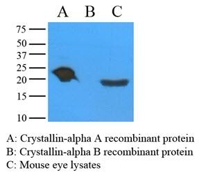Anti Human Alpha A Crystallin Antibody, clone c9F2 gallery image 1