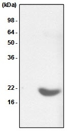 Anti Human Alpha B Crystallin Antibody, clone 2E8 gallery image 1