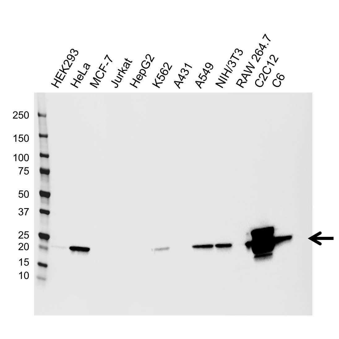 Anti Alpha B Crystallin Antibody, clone CPTC16 (PrecisionAb™ Monoclonal Antibody) gallery image 1