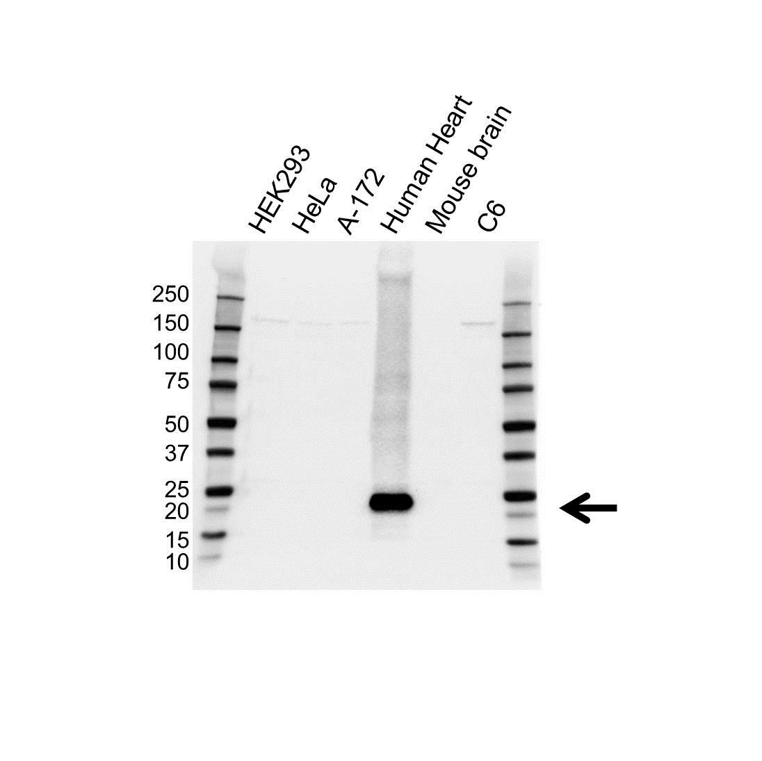 Anti Alpha B Crystallin Antibody (PrecisionAb Monoclonal Antibody) gallery image 1