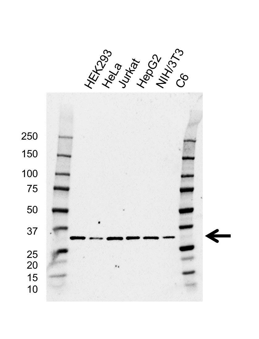Anti Aly Antibody, clone AB01/1C6 (PrecisionAb™ Monoclonal Antibody) gallery image 1