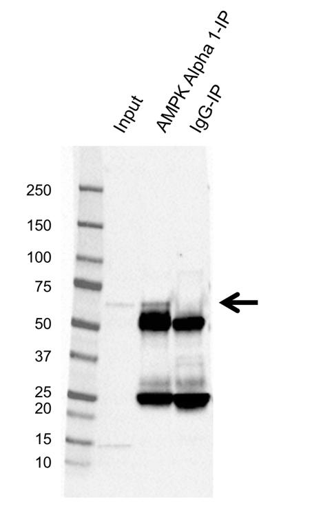 Anti AMPK Alpha 1 Antibody, clone 2B7 (PrecisionAb Monoclonal Antibody) thumbnail image 2