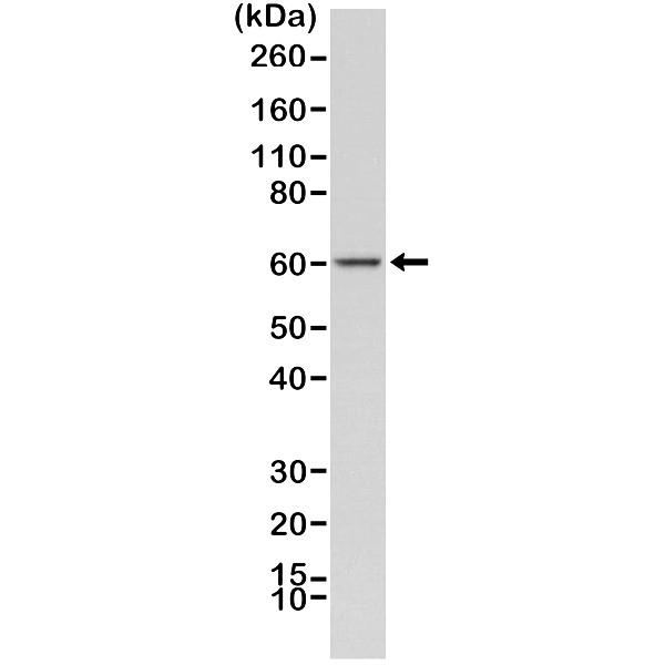 Anti AMPK Alpha 1 Antibody, clone RM301 thumbnail image 1