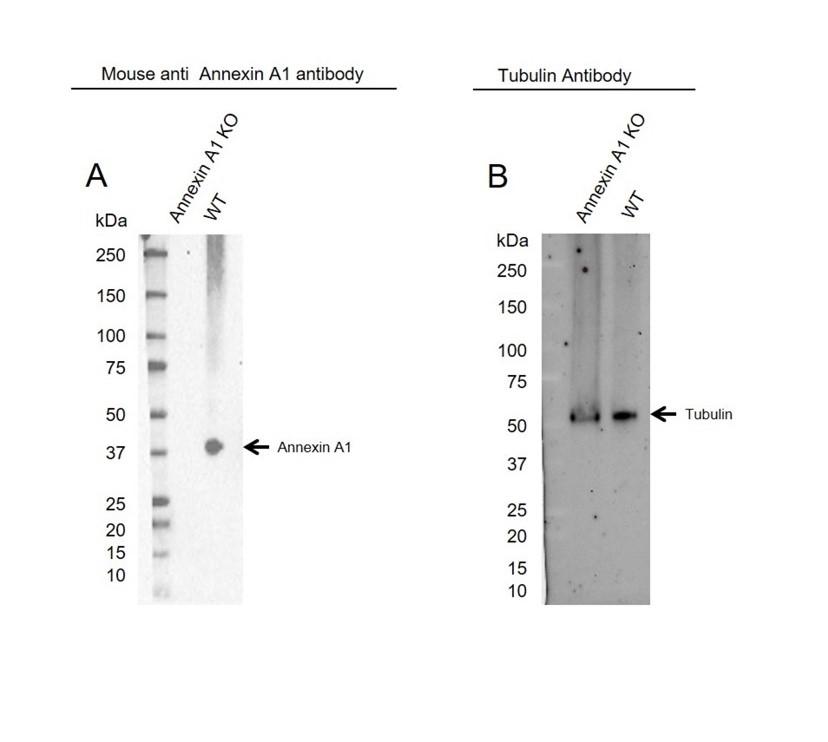 Anti Annexin A1 Antibody, clone CPTC22 (PrecisionAb Monoclonal Antibody) thumbnail image 2