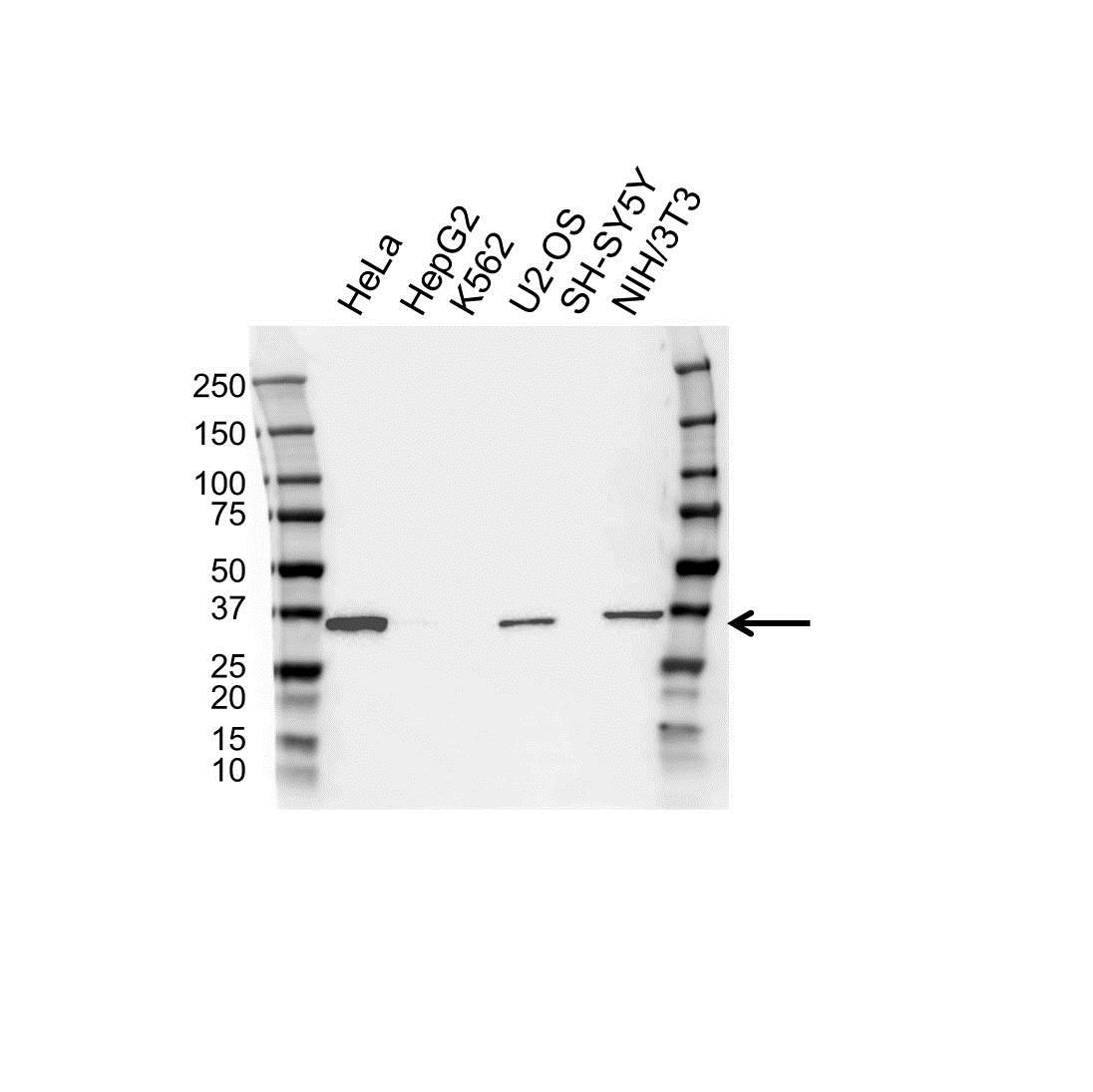 Anti Annexin III Antibody, clone OTI1F11 (PrecisionAb™ Monoclonal Antibody) gallery image 1