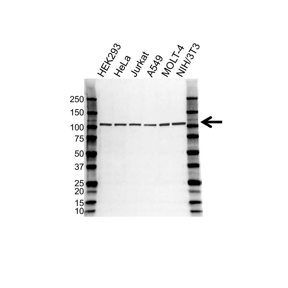Anti APC2 Antibody, clone OTI1B11 (PrecisionAb™ Monoclonal Antibody) gallery image 1