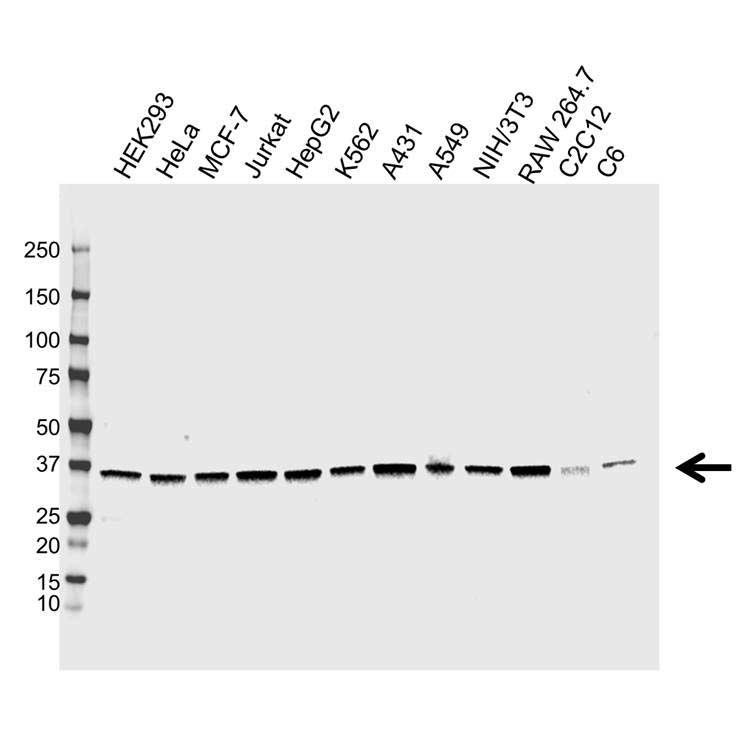 Anti APEX1 Antibody, clone CPTC15 (PrecisionAb Monoclonal Antibody) thumbnail image 1