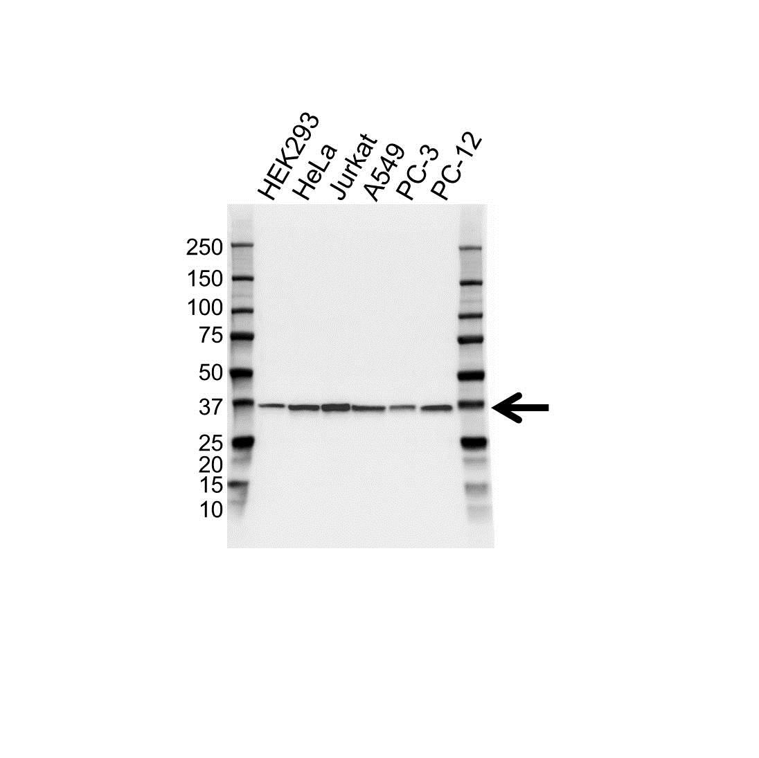 Anti APEX1 Antibody, clone OTI6E10 (PrecisionAb Monoclonal Antibody) thumbnail image 1