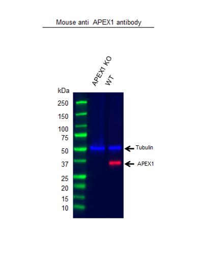 Anti APEX1 Antibody, clone OTI6E10 (PrecisionAb Monoclonal Antibody) thumbnail image 2