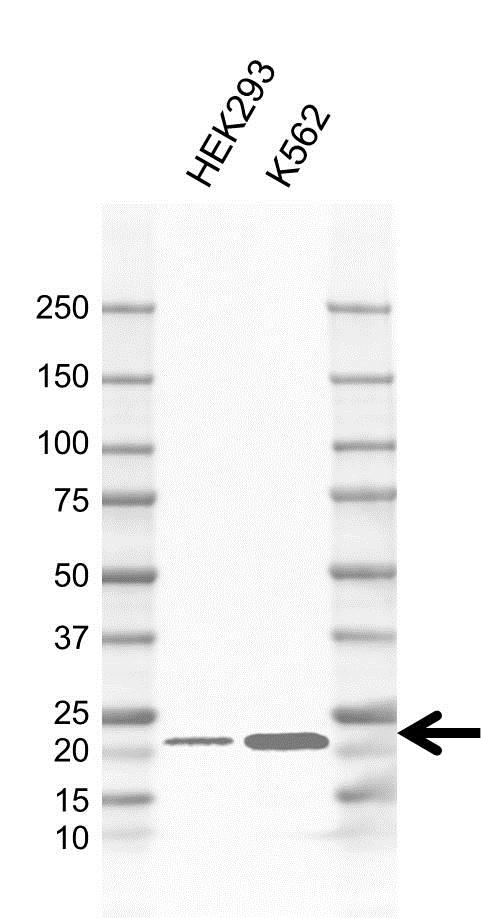 Anti APOBEC3C Antibody, clone CD01/1C11 (PrecisionAb Monoclonal Antibody) gallery image 1