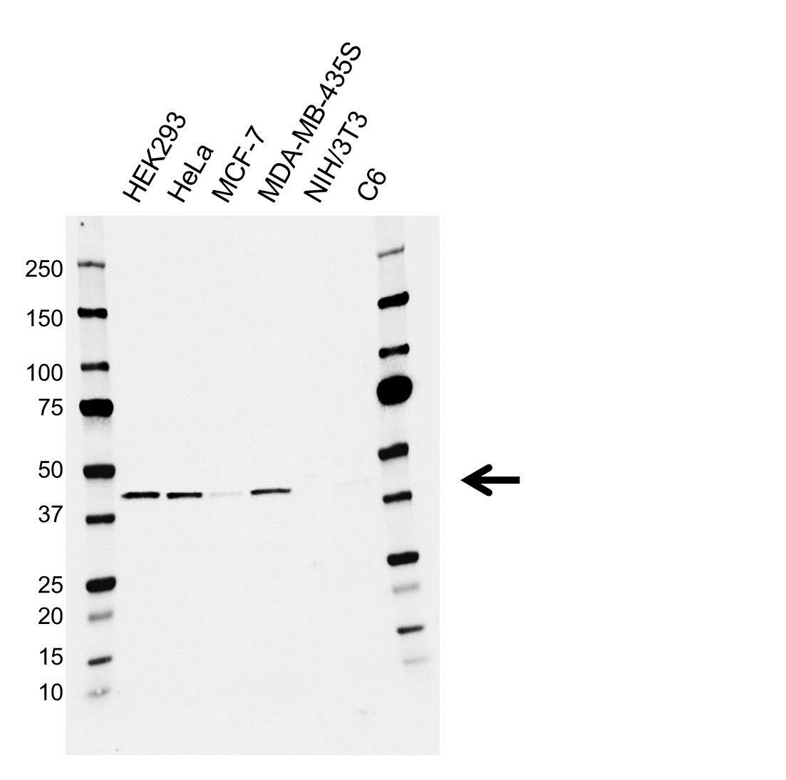 Anti APOBEC3G Antibody (PrecisionAb Monoclonal Antibody) gallery image 1