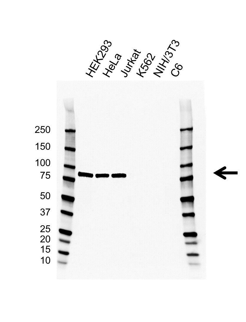 Anti APPL1 Antibody, clone G03/2H2 (PrecisionAb Monoclonal Antibody) gallery image 1