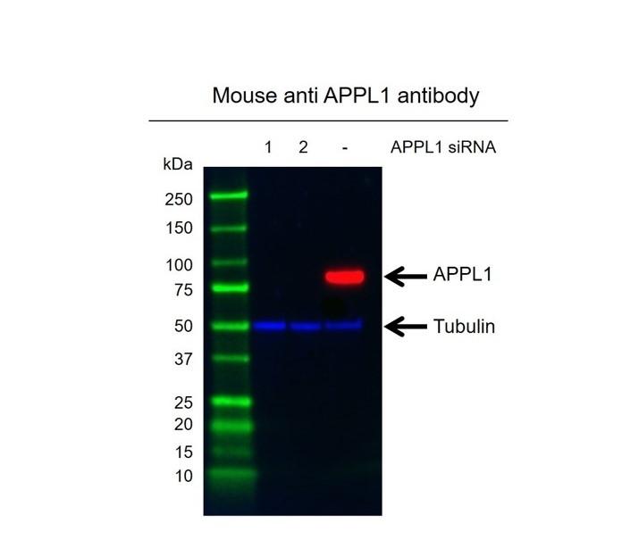 Anti APPL1 Antibody, clone G03/2H2 (PrecisionAb Monoclonal Antibody) thumbnail image 2