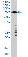 Anti Human ARAF Antibody, clone 6H6 thumbnail image 1