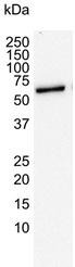 Anti Human ARAF Antibody, clone 6H6 thumbnail image 2