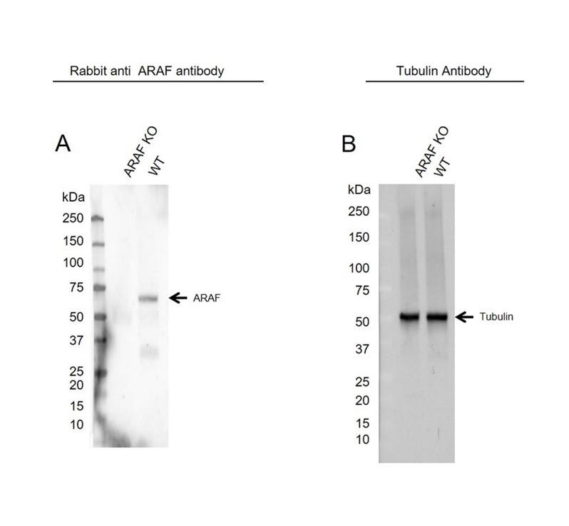 Anti ARAF Antibody, clone OTI2G4 (PrecisionAb Monoclonal Antibody) thumbnail image 2