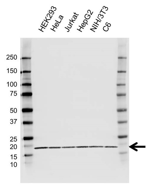 Anti ARF1 Antibody, clone E01/8D1 (PrecisionAb Monoclonal Antibody) gallery image 1