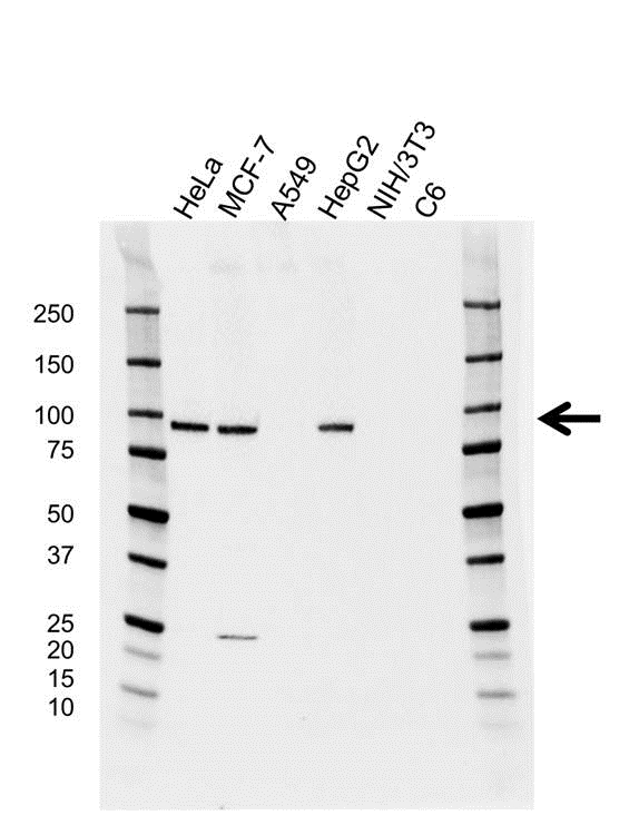 Anti Argonaute 2 Antibody, clone H01/6G5 (PrecisionAb™ Monoclonal Antibody) gallery image 1