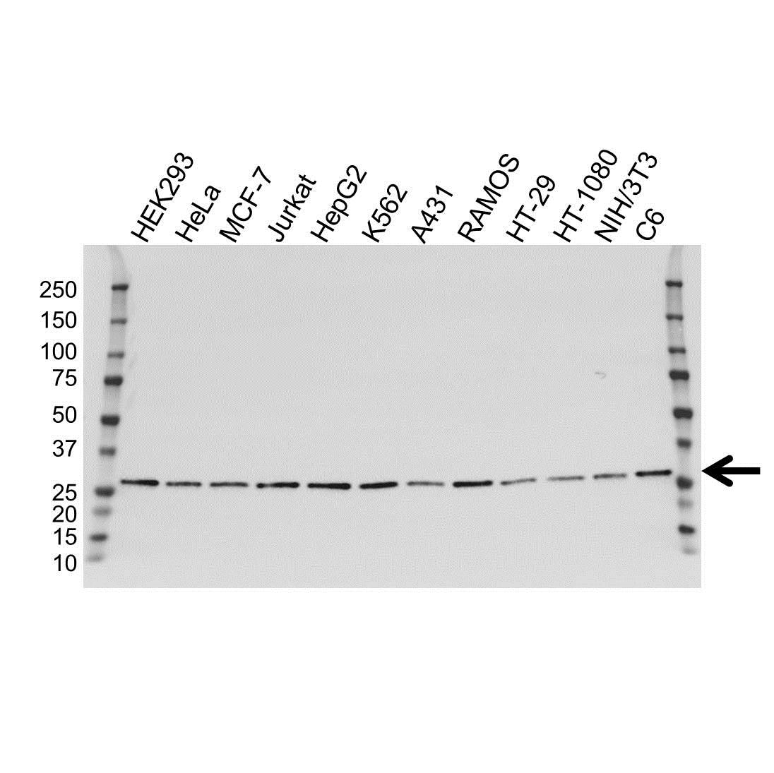 Anti ARHGDIA Antibody, clone OTI1F2 (PrecisionAb Monoclonal Antibody) gallery image 1