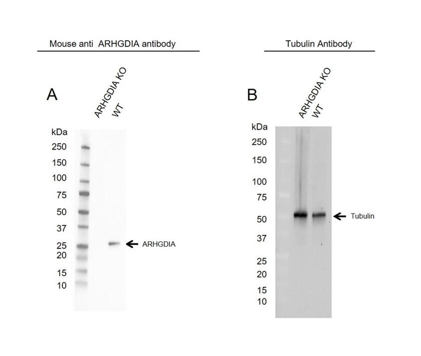 Anti ARHGDIA Antibody, clone OTI1F2 (PrecisionAb Monoclonal Antibody) thumbnail image 1