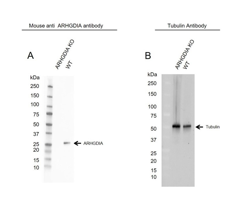 Anti ARHGDIA Antibody, clone OTI1F2 (PrecisionAb Monoclonal Antibody) thumbnail image 2