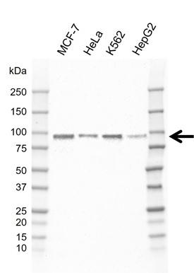 Anti ARNT Antibody, clone E01/1H8 (PrecisionAb Monoclonal Antibody) thumbnail image 1