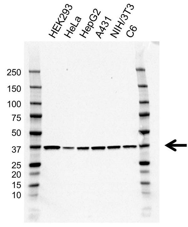 Anti ATF1 Antibody, clone AB01/1D8 (PrecisionAb Monoclonal Antibody) gallery image 1
