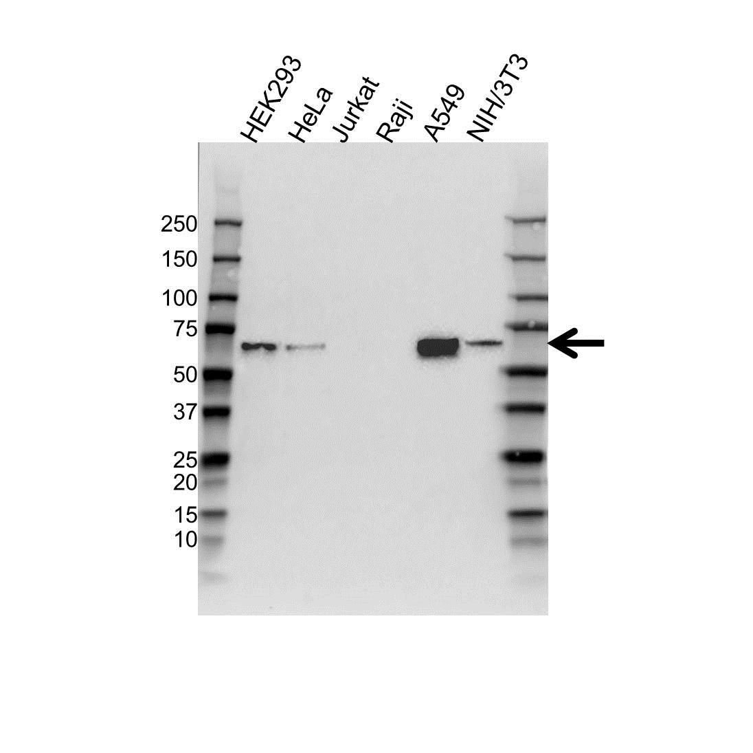 Anti ATF2 Antibody (PrecisionAb™ Monoclonal Antibody) gallery image 1