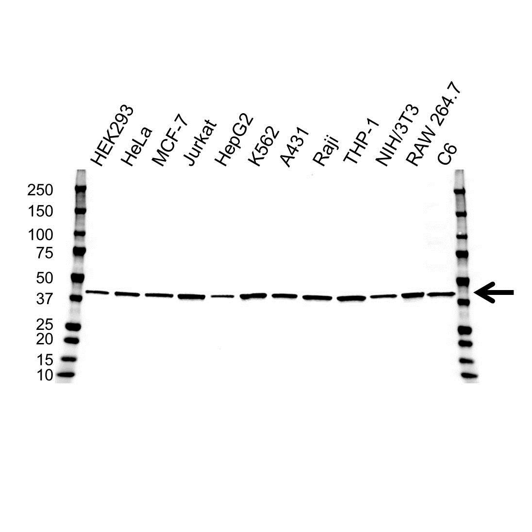 Anti ATG3 Antibody, clone OTI3C6 (PrecisionAb™ Monoclonal Antibody) gallery image 1