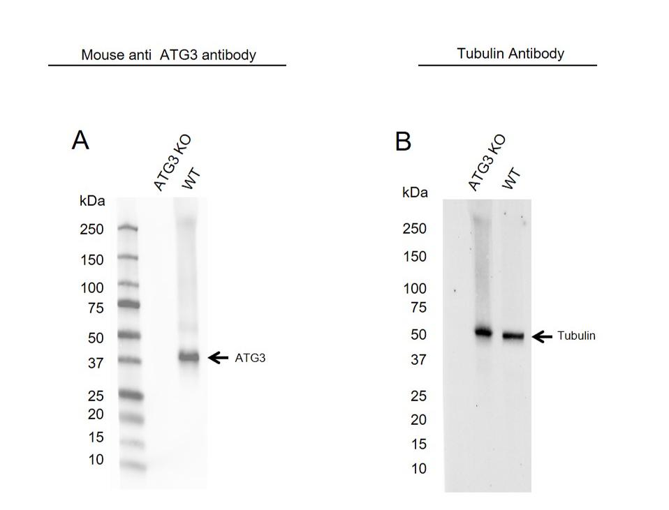 Anti ATG3 Antibody, clone OTI3C6 (PrecisionAb Monoclonal Antibody) thumbnail image 2