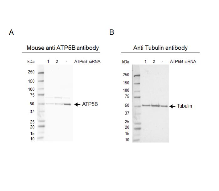 Anti ATP5B Antibody, clone OTI1F7 (PrecisionAb Monoclonal Antibody) thumbnail image 2