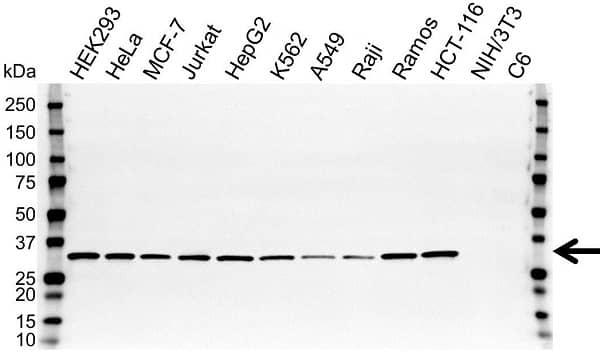 Anti ATP5C1 Antibody, clone OTI2H6 (PrecisionAb Monoclonal Antibody) gallery image 1