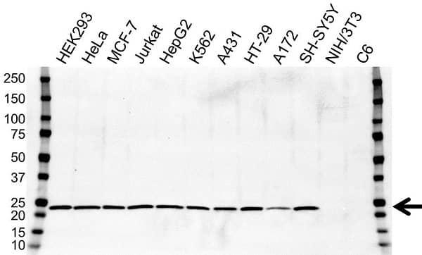 Anti ATP5O Antibody, clone OTI2E9 (PrecisionAb Monoclonal Antibody) gallery image 1