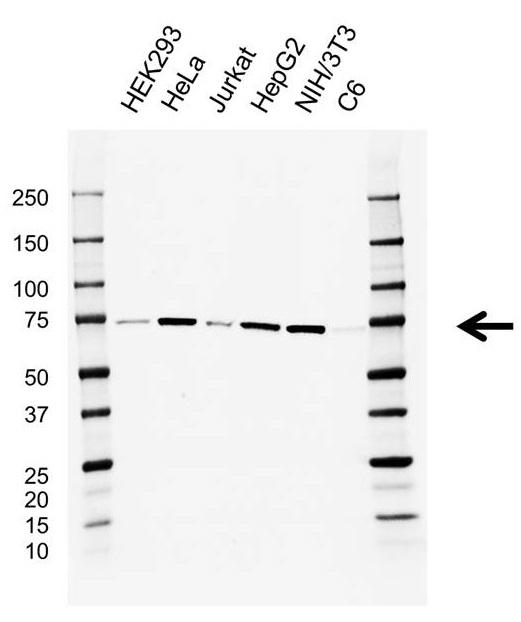 Anti ATP6V1A Antibody, clone AB01/4F4 (PrecisionAb Monoclonal Antibody) thumbnail image 1