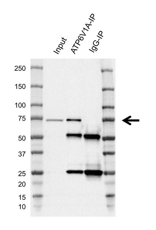 Anti ATP6V1A Antibody, clone AB01/4F4 (PrecisionAb Monoclonal Antibody) thumbnail image 2
