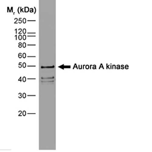 Anti Aurora-A Kinase Antibody, clone 35C1 thumbnail image 1