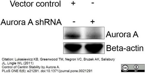 Anti Aurora-A Kinase Antibody, clone 35C1 thumbnail image 4